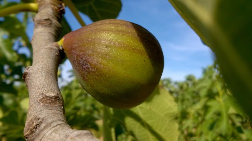 figues-buffille-16