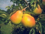 poires-nathalie-roux-3