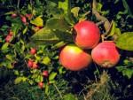 pommes-clerc-7