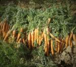 carotte-girard-2