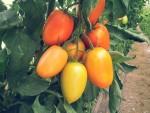 tomates-zrhiba-a-1